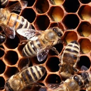 Medicinal Bees